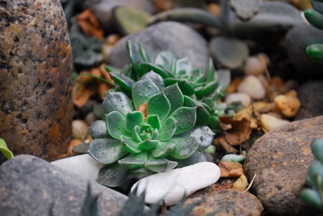 Jakie rośliny sadzić na skalniaku?