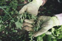 Chwasty w ogrodzie – jak się ich skutecznie pozbyć?